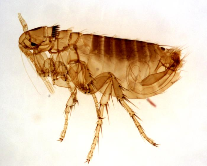 How To Treat Fleas In The Home Naturally