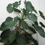 Philodendron - indoor plant air purifier detox clean air