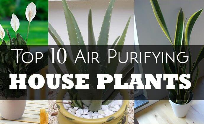 Top 10 Air Purifying Indoor House Plants