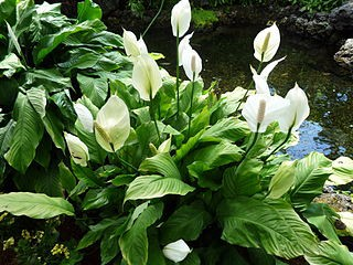 peace-lily house plant air purifyer to clean air