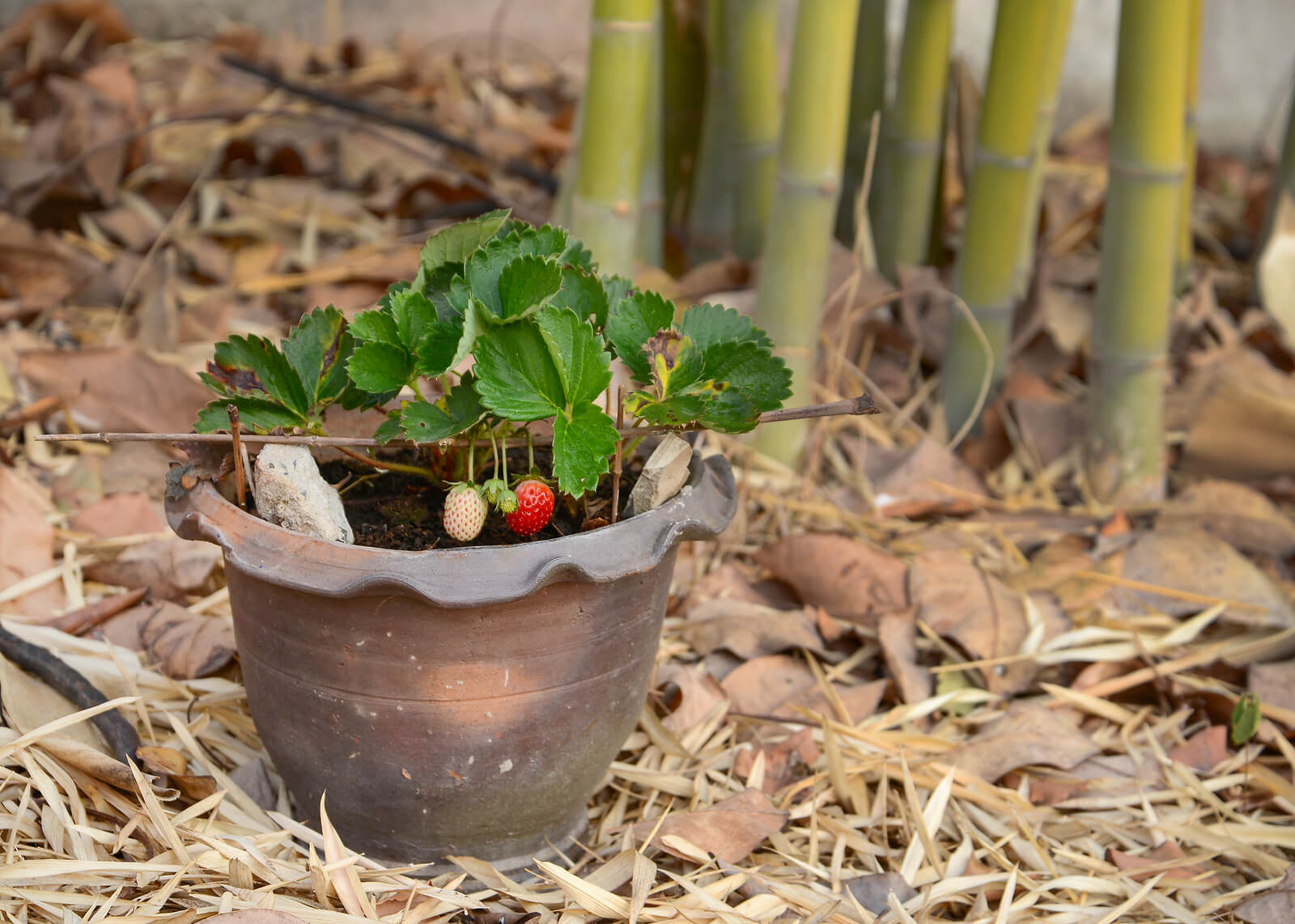 growing pineberries in a pot
