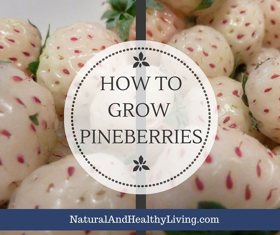 How to Grow Pineberries - A fruit that tastes like pineapple and bubblegum